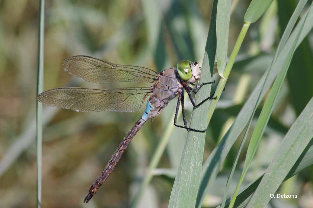Anax parthenope (Selys, 1839) © O. Delzons