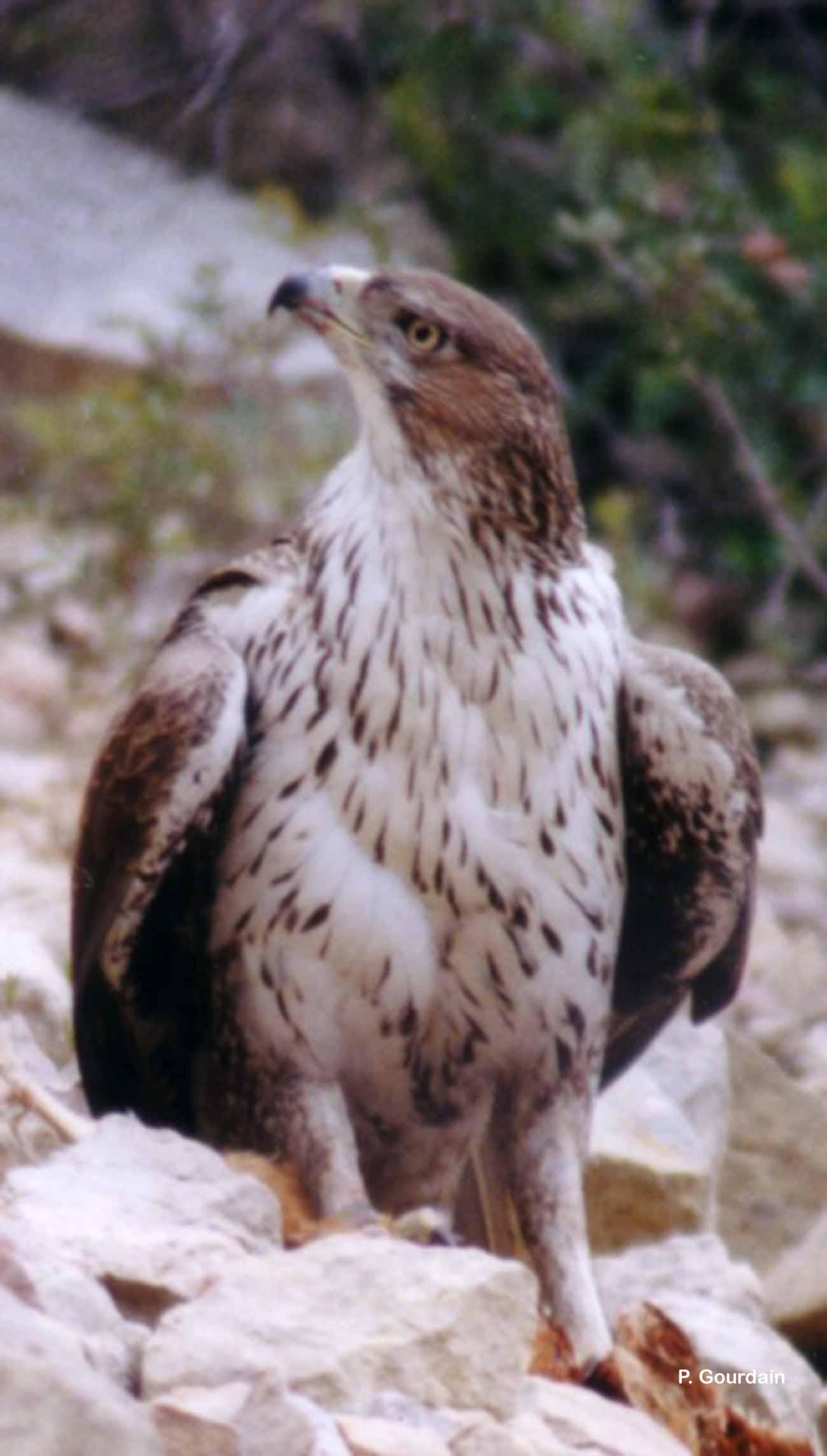 Aquila fasciata Vieillot, 1822 © P. Gourdain