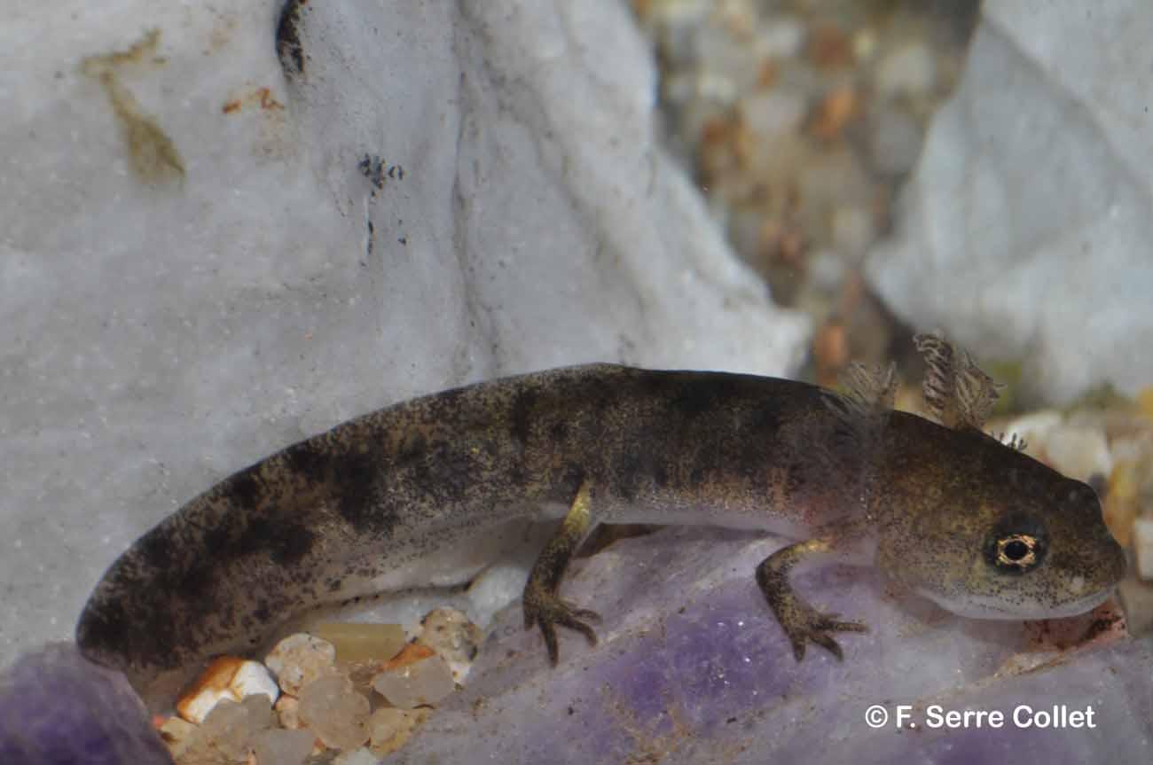 Salamandra salamandra (Linnaeus, 1758) © F. Serre Collet