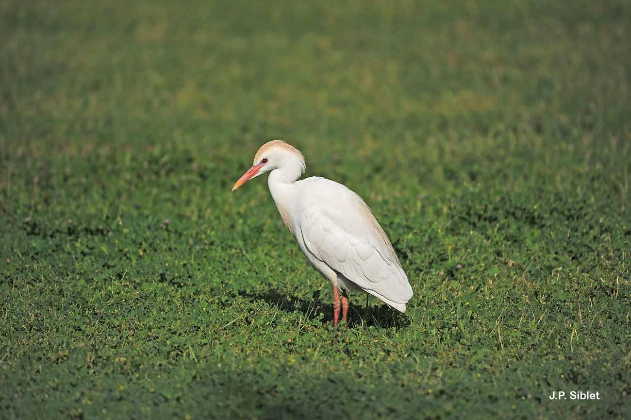 <i>Bubulcus ibis</i> (Linnaeus, 1758) © J.P. Siblet