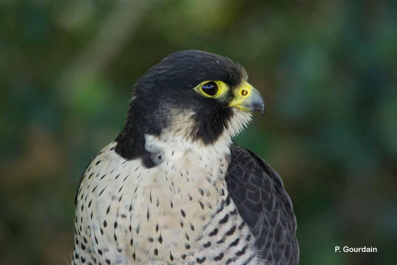 Falco peregrinus Tunstall, 1771 © P. Gourdain