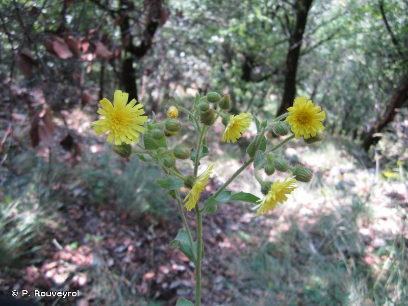Andryala integrifolia L., 1753 © P. Rouveyrol