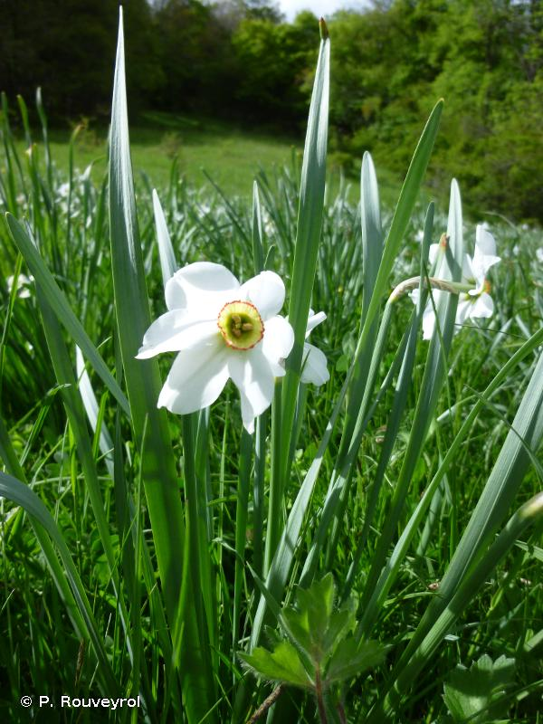Narcissus poeticus L., 1753 © P. Rouveyrol