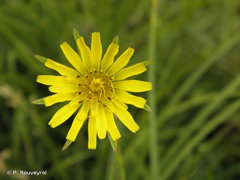 Tragopogon pratensis subsp. pratensis L., 1753 © P. Rouveyrol