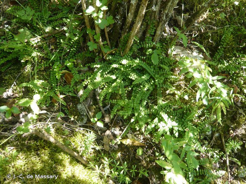 Asplenium trichomanes subsp. quadrivalens D.E.Mey., 1964 © J.-C. de Massary