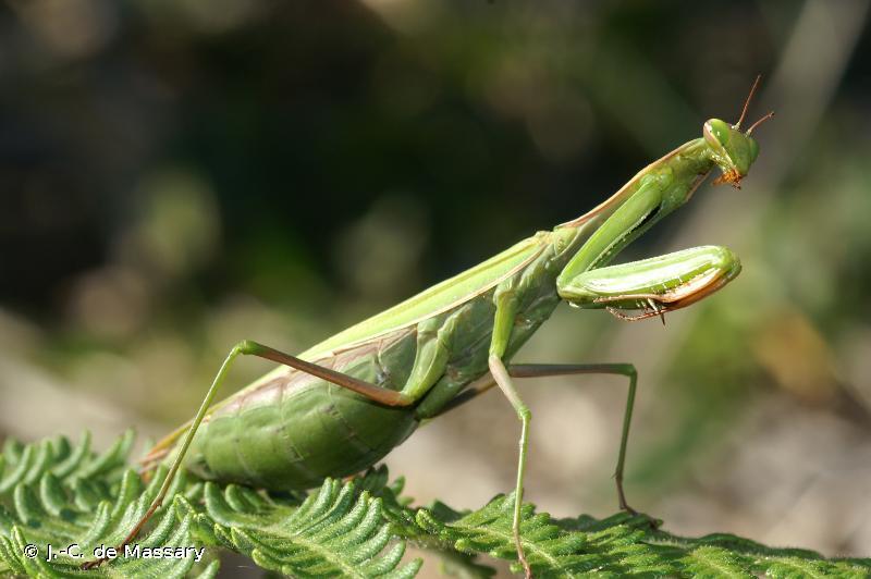 <i>Mantis religiosa</i> (Linnaeus, 1758) © J.-C. de Massary