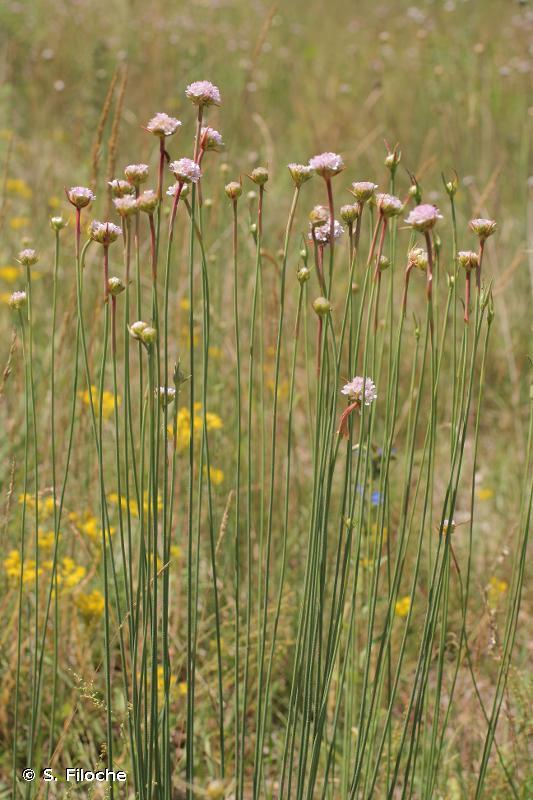 Armeria arenaria (Pers.) Schult., 1820 © S. Filoche