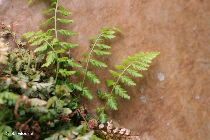 Asplenium obovatum subsp. billotii (F.W.Schultz) Kerguélen, 1998 © S. Filoche