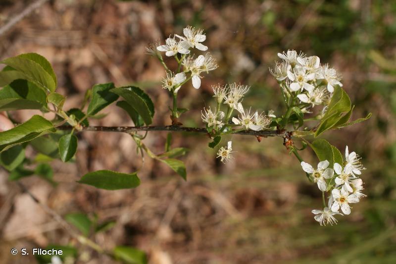 Prunus mahaleb L., 1753 © S. Filoche