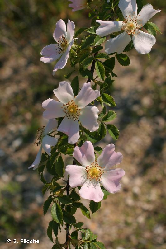 Rosa rubiginosa L., 1771 © S. Filoche