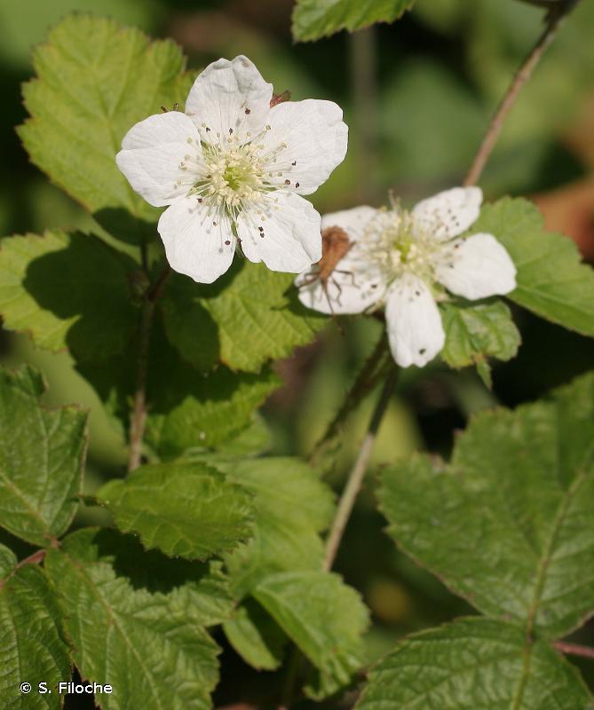 Rubus caesius L., 1753 © S. Filoche