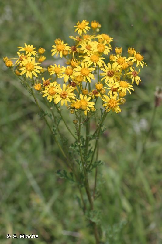 Jacobaea erucifolia (L.) G.Gaertn., B.Mey. & Scherb., 1801 © S. Filoche