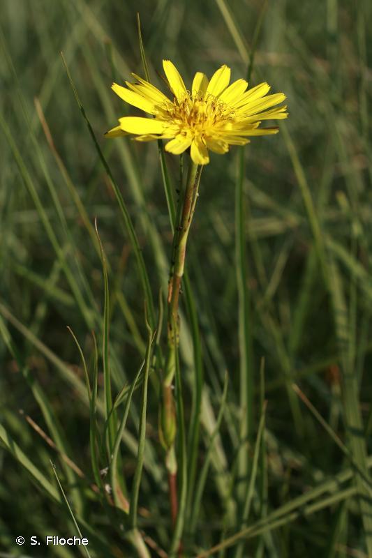 Tragopogon pratensis L., 1753 © S. Filoche