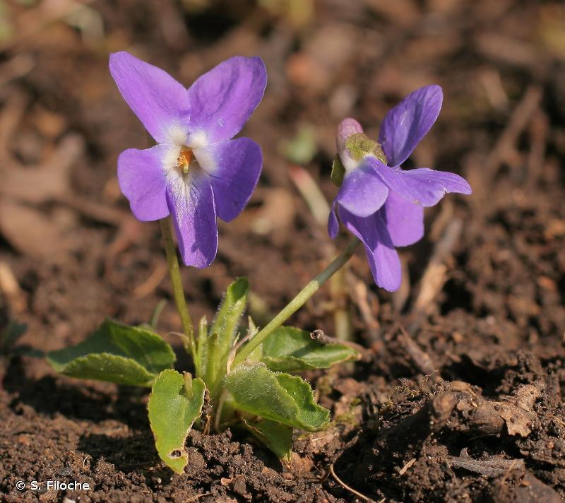 Viola hirta L., 1753 © S. Filoche
