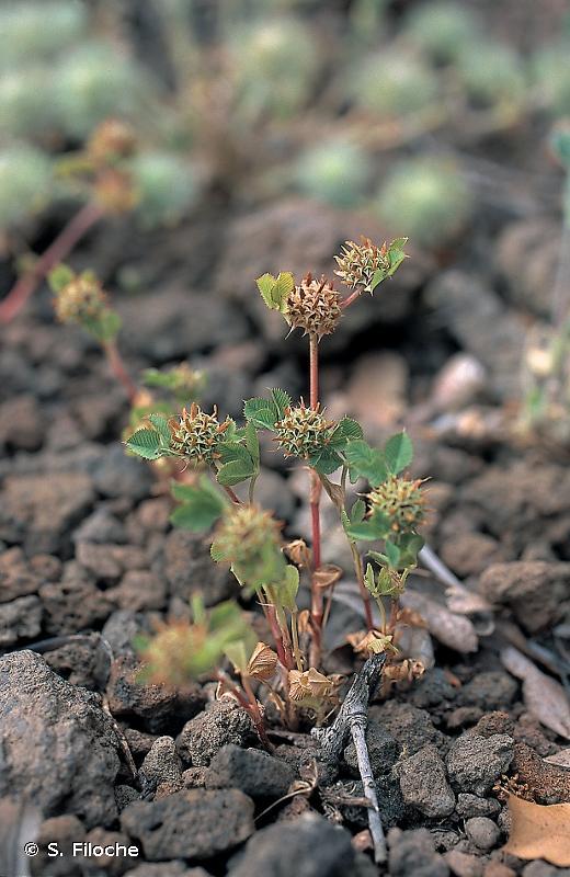 Trifolium glomeratum L., 1753 © S. Filoche