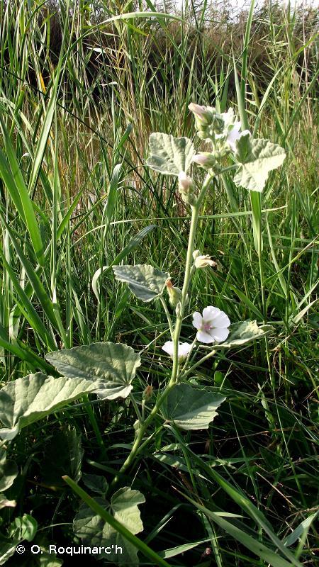 Althaea officinalis L., 1753 © O. Roquinarc'h