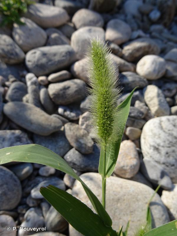 Setaria italica subsp. viridis (L.) Thell., 1912 © P. Rouveyrol