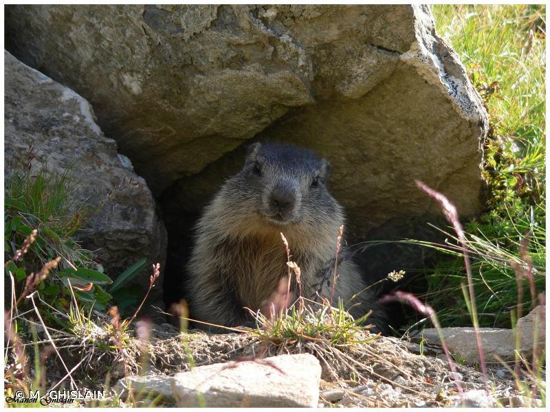 Marmota marmota (Linnaeus, 1758) © M. GHISLAIN