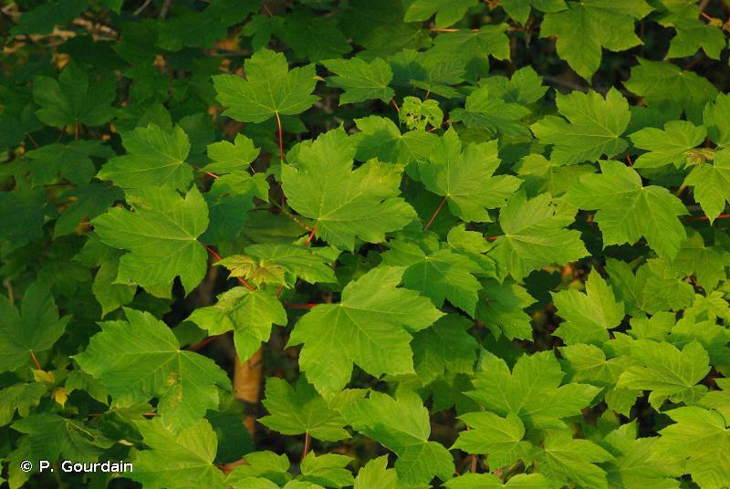 Acer pseudoplatanus L., 1753 © P. Gourdain