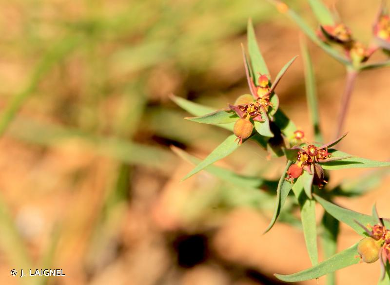 Euphorbia exigua L., 1753 © J. LAIGNEL