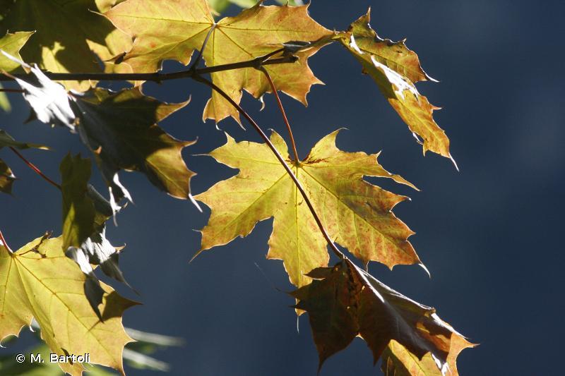 Acer platanoides L., 1753 © M. Bartoli