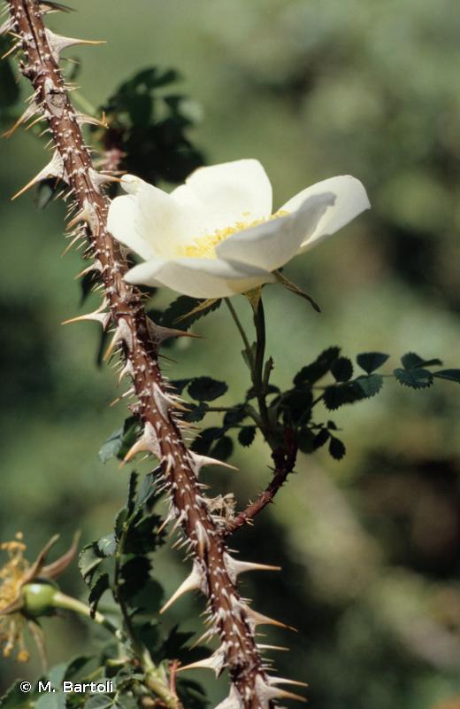 Rosa spinosissima L., 1753 © M. Bartoli
