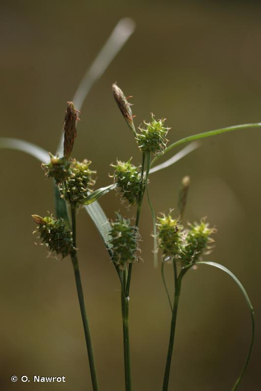 Carex viridula Michx., 1803 © O. Nawrot