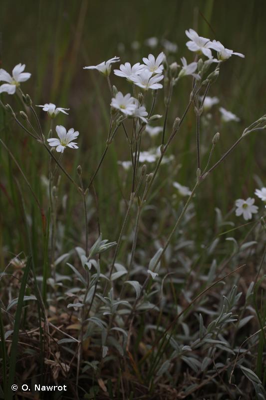 Cerastium tomentosum L., 1753 © O. Nawrot