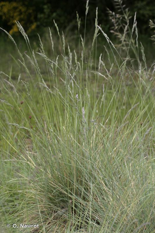 Festuca ovina subsp. guestfalica (Boenn. ex Rchb.) K.Richt., 1890 © O. Nawrot