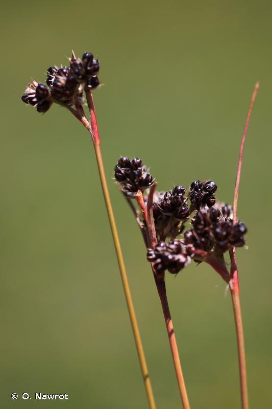 Luzula sudetica (Willd.) Schult., 1814 © O. Nawrot