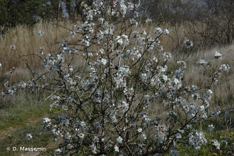 Prunus dulcis (Mill.) D.A.Webb, 1967 © D. Massemin