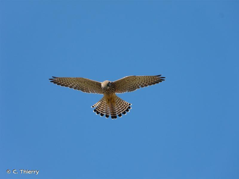 Falco tinnunculus Linnaeus, 1758 © C. Thierry