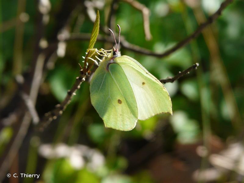 <i>Gonepteryx rhamni</i> (Linnaeus, 1758) © C. Thierry