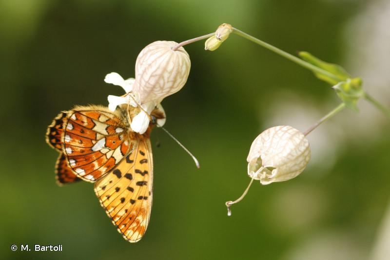 <i>Boloria euphrosyne</i> (Linnaeus, 1758) © M. Bartoli