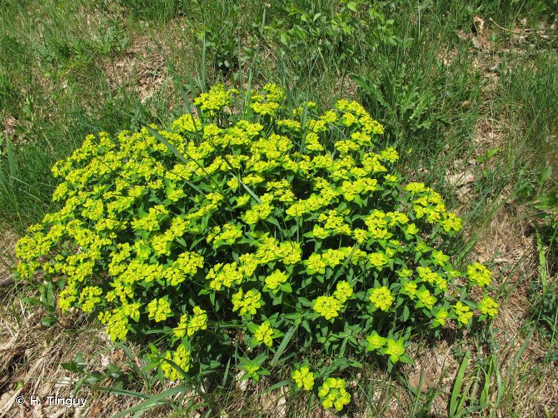 Euphorbia flavicoma subsp. verrucosa (Fiori) Pignatti, 1973 © H. Tinguy