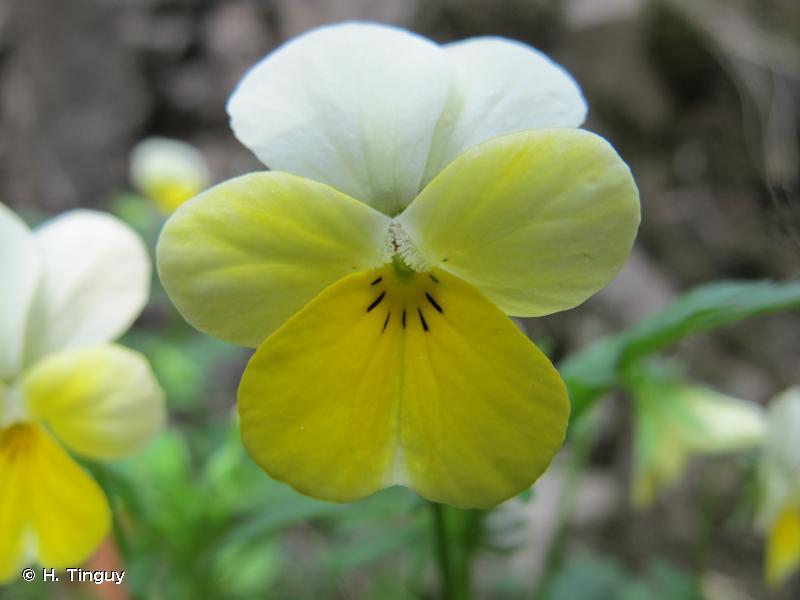Viola tricolor subsp. saxatilis (F.W.Schmidt) Arcang., 1882 © H. Tinguy