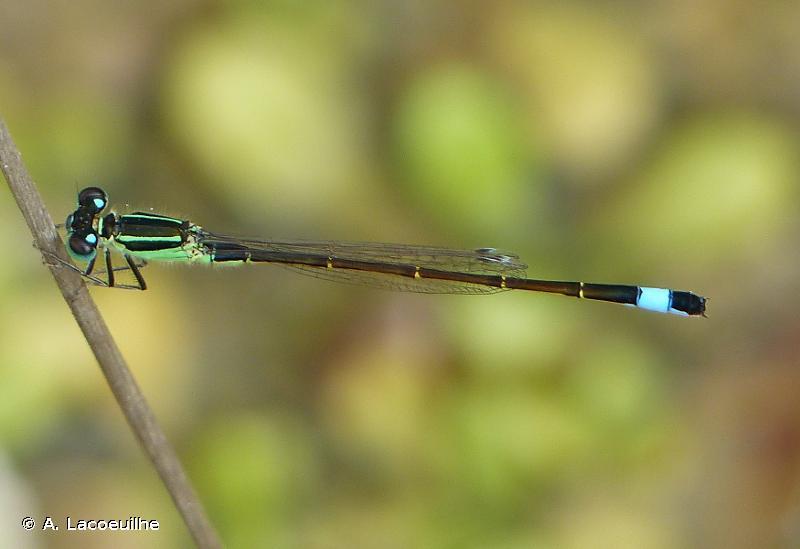 <i>Ischnura elegans</i> (Vander Linden, 1820) © A. Lacoeuilhe