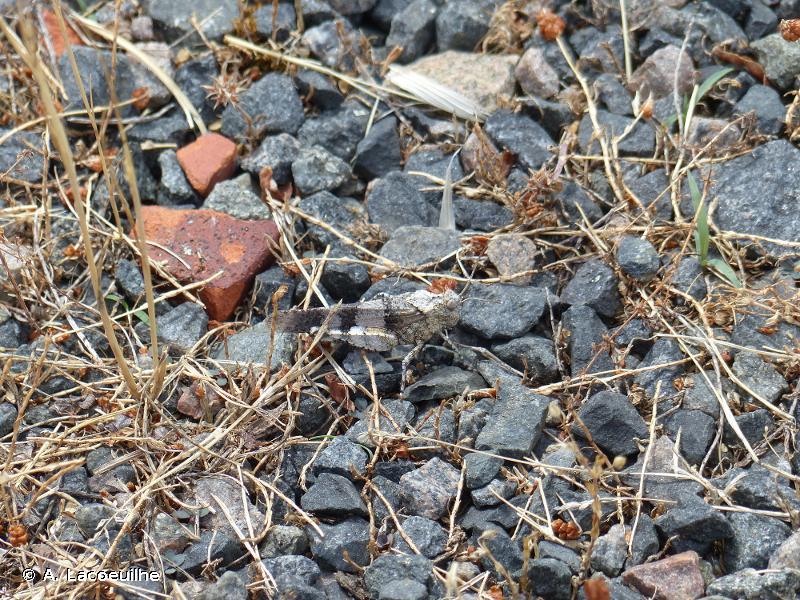 <i>Oedipoda caerulescens caerulescens</i> (Linnaeus, 1758) © A. Lacoeuilhe