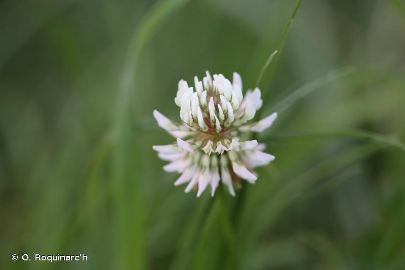 Trifolium repens L., 1753 © O. Roquinarc'h