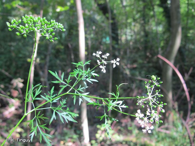 Aethusa cynapium subsp. elata (Friedl.) Schübl. & G.Martens, 1834 © H. Tinguy