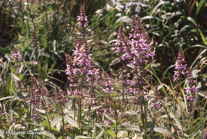 Stachys palustris L., 1753 © Michel Garnier