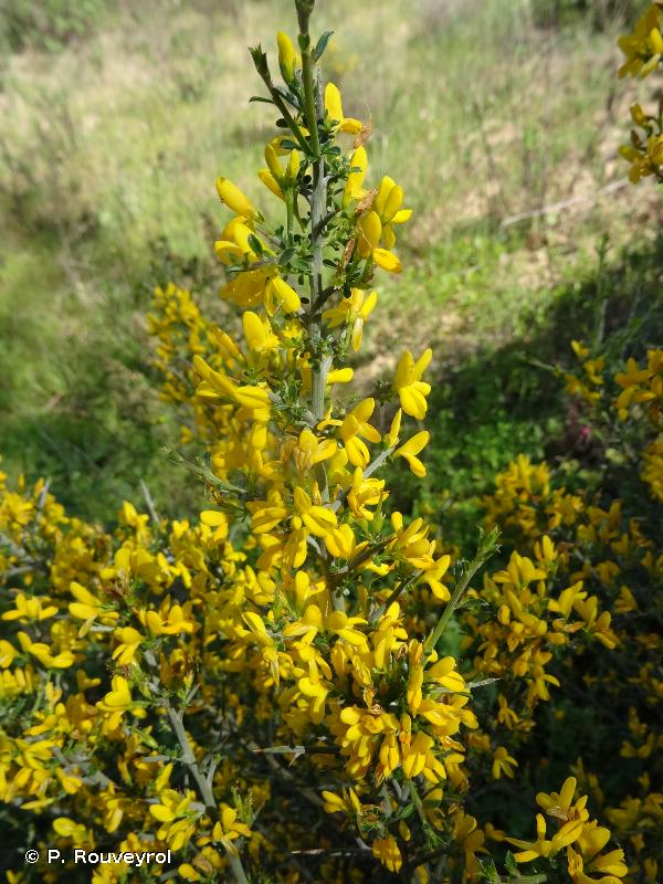 Genista scorpius (L.) DC., 1805 © P. Rouveyrol