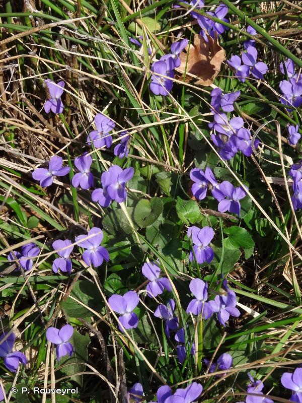 Viola odorata L., 1753 © P. Rouveyrol