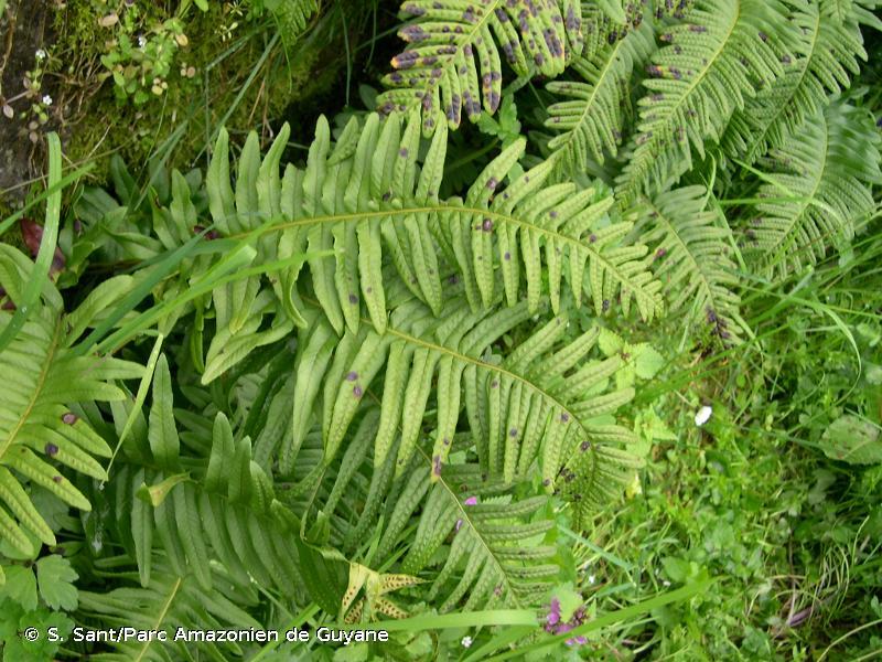Polypodium x shivasiae Rothm., 1962 © S. Sant/Parc Amazonien de Guyane