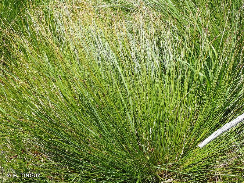 Carex pulicaris L., 1753 © H. TINGUY