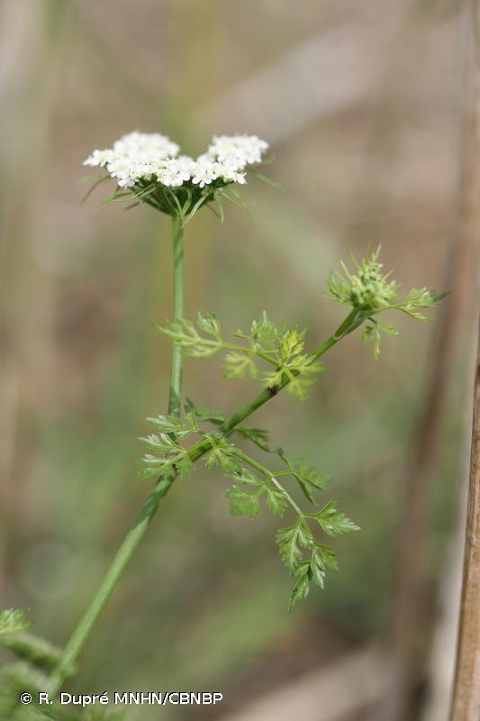 Aethusa cynapium subsp. cynapium L., 1753 © R. Dupré MNHN/CBNBP