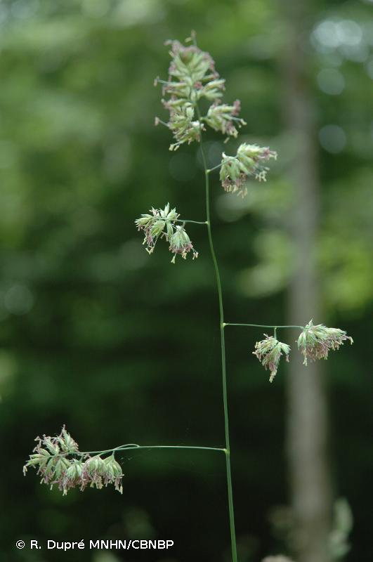 Dactylis glomerata subsp. glomerata L., 1753 © R. Dupré MNHN/CBNBP