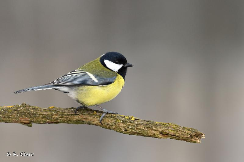 Parus major Linnaeus, 1758 © R. Clerc