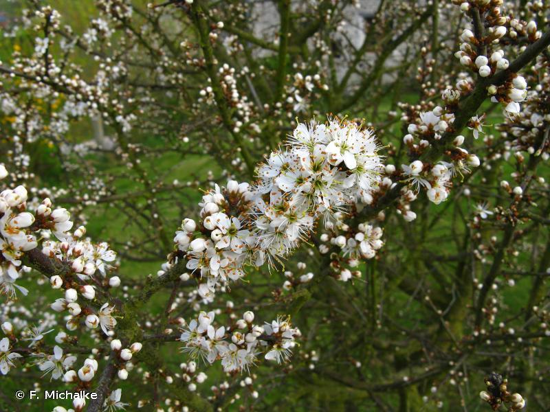 Prunus spinosa L., 1753 © F. Michalke
