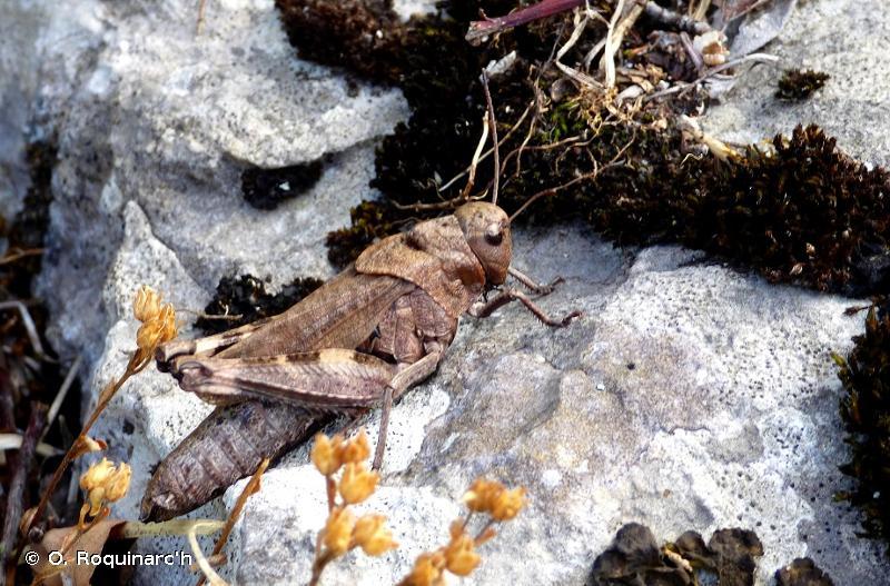 <i>Psophus stridulus</i> (Linnaeus, 1758) © O. Roquinarc'h